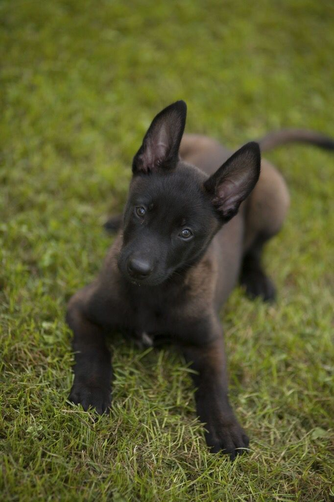 Belgian Malinois Puppy - Tap the pin for the most adorable pawtastic fur baby apparel! You'll love the dog clothes and cat clothes! <3