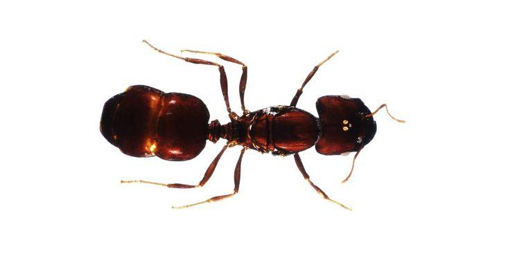 Espécies de formigas mortais. Formigas são normalmente associadas a estragos em piqueniques de verão, mas existem algumas espécies podem ser realmente mortais para humanos. Embora a maioria delas vivam em áreas isoladas do mundo, é importante estar consciente do risco quando encontrar esses insetos.