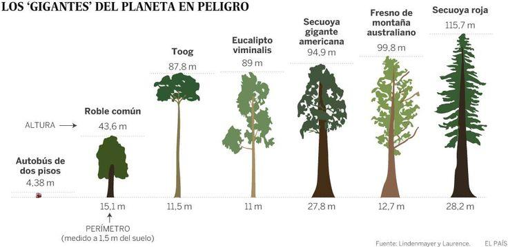Los árboles más grandes del planeta se desvanecen