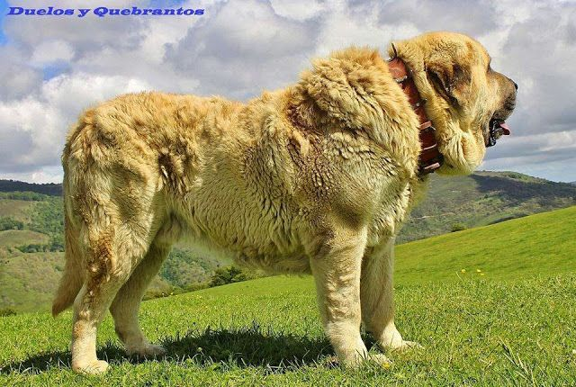 The Spanish Mastiff Livestock Guardian Dog: Protecting the Protectors