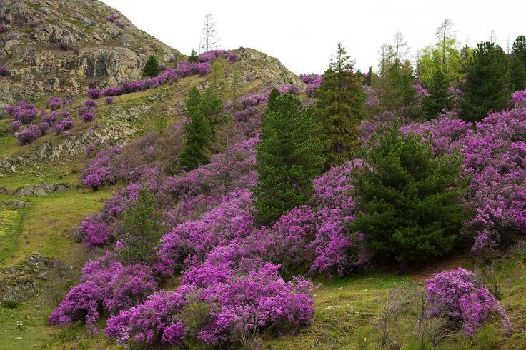 Маральник (багульник сибирский) - Rhododendron dauricum