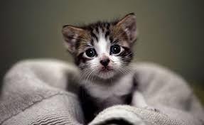 un gattino coperto da una coperta
