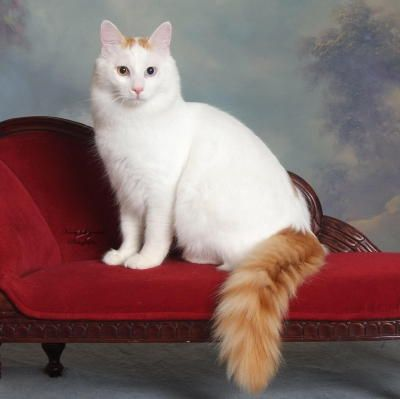 Turkish Van cat -- best/orneriest cats ever!! @Katherine Sparacio