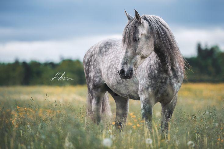 Andalusier steht auf Blumenwiese | Schimmel | Apfelschimmel | Pferd | Bilder | Foto | Fotografie | Fotoshooting | Pferdefotografie | Pferdefotograf | …