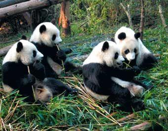 Pandas, Chengdu, China