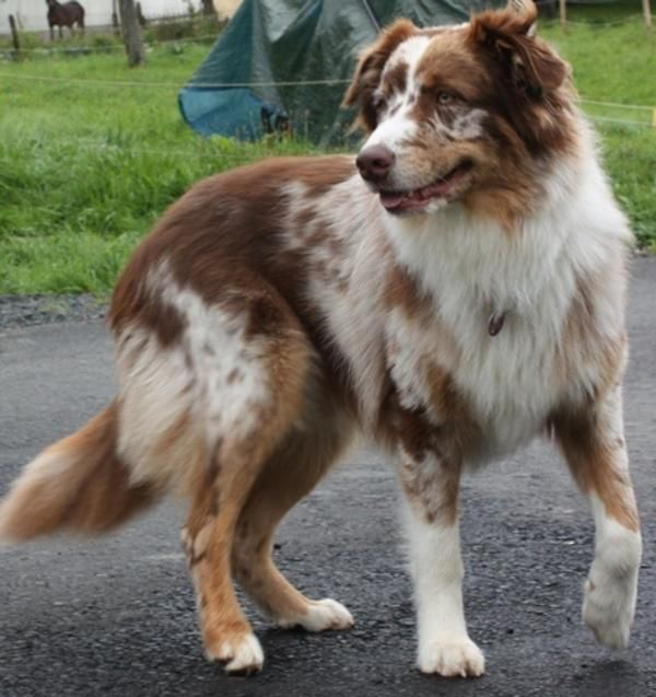 red australian shepherd dogs images galleries with a bite. Black Bedroom Furniture Sets. Home Design Ideas