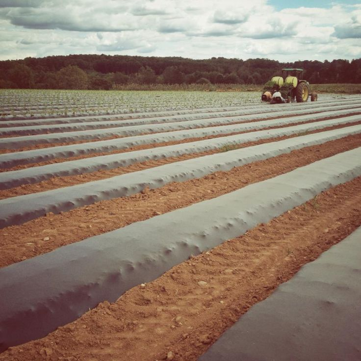 We are still trying to plant a few strawberries... for this reason hayrides may be a bit limited this afternoon, but hopefully they will be running fairly regularly this evening!