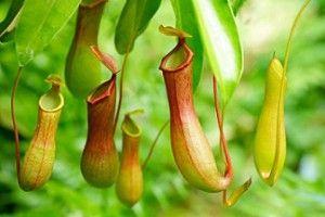 Nepenthes Ventrata: Cura e Coltivazione