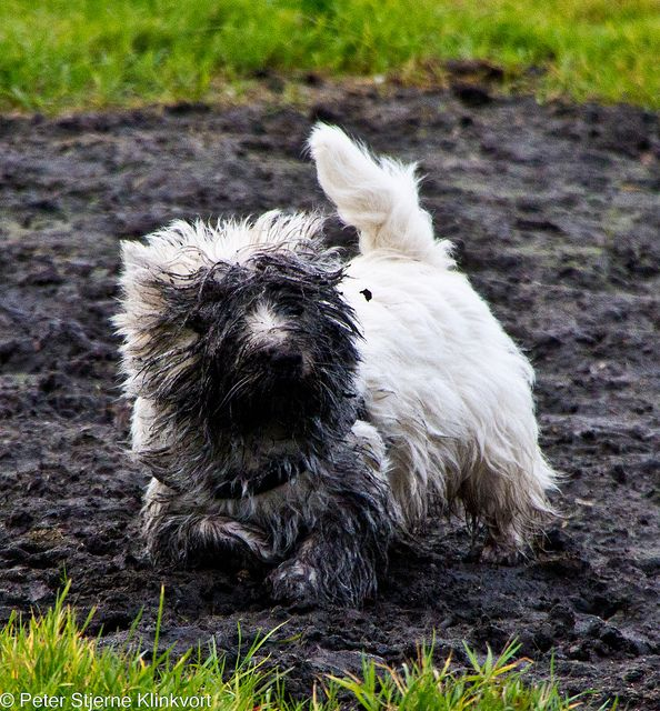 What Westies will do! This would be Duffy!  But on my scottie you wouldn't be able to tell?.