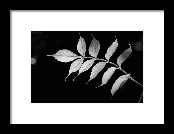 Campsis Leaves In Backlighting   Framed Print by Irina Safonova.  All framed prints are professionally printed, framed, assembled, and shipped within 3 - 4 business days and delivered ready-to-hang on your wall. Choose from multiple print sizes and hundreds of frame and mat options #IrinaSafonova#Works #FineArtPhotography #HomeDecor#IrinaSafonovaFineArtPhotography #ArtForHome #FineArtPrints #HomeDecor  #Flora#Flower.