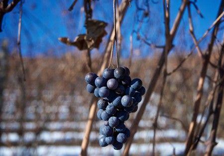 #Pelaverga - le proprietà dell'uva Colore: Rosso rubino più o meno carico.  Profumo: Vivace, intenso e fragrante, di frutta. In particolare si distingue una nota speziata di pepe bianco.  Sapore:  Secco, fresco, vellutato ed armonico.
