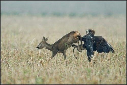 Harpy eagle hunting monkey - photo#44