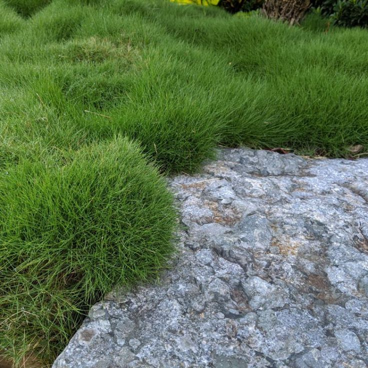 No Mow Zoysia Lawn Plugs Also known as Temple Grass is