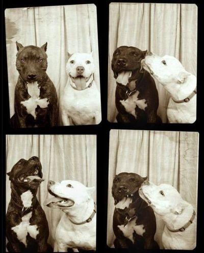 Doggies love photo booths, tooPhotos Booths, Pitt Bull, Vintage Photos, Pitbull, A Kisses, Dogs Photos, Pit Bull, Happy Dogs, Kisses Booths