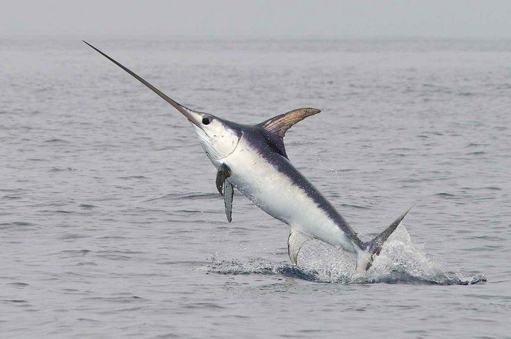Jumping swordfish (xiphias gladius) | Flickr - Photo Sharing!