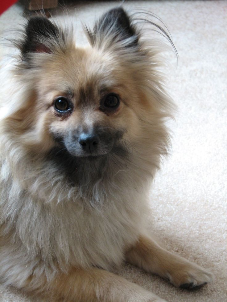 My sweet Sophie, a Pomeranian rescue dog. She is my constant companion <3