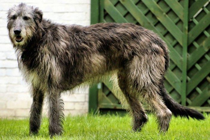 Irischer Wolfshund: Größter Hund der Welt ist ein sanfter Riese