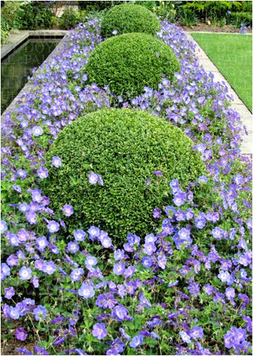 Box balls with blue wild geraniums. The arboretum usually offers wild blue geraniums in our plant sales!