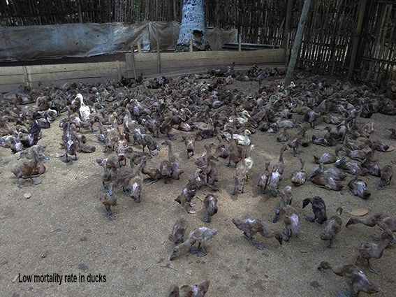 Avian Influenza H5N1, bird flu in ducks