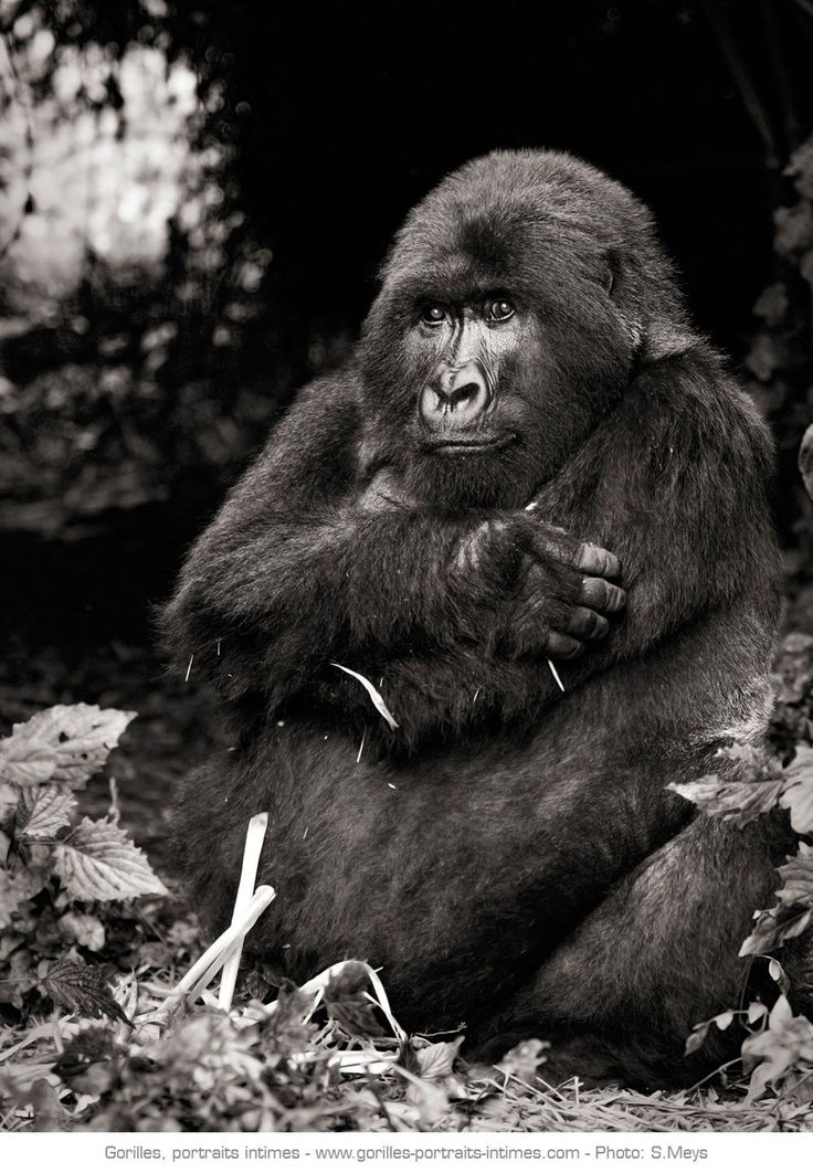 © Sébastien Meys Femelle gorille