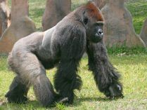 Ccomportamiento de los gorilas de lomo plateado