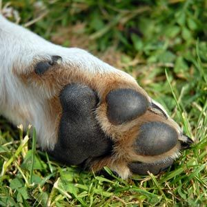 Caring For Paw Pads | The Dogington Post