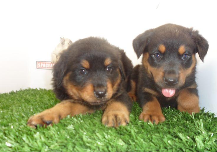 Compra venta de cachorros perros de raza Rottweiler  hembras y machos Spaceanimals.com.mx pedigree azul¡Ahorros hasta del 50%! de Descuento y 12 Meses Sin Intereses paga seguro con Pay Pal ,Ventas por Teléfono: (01)(229) 2.60.31.86 / (01229) 3.06.02.03 / ID Nextel 42*15*597183 Móvil 22.99.60.60.77 / 22.92.91.20.91 WhatsApp Si estás en el extranjero llámanos al +52 229 260 3186 Encuentra las Mejores Razas en www.VentadeCachorrosPerros.com¡Compra Ahora!