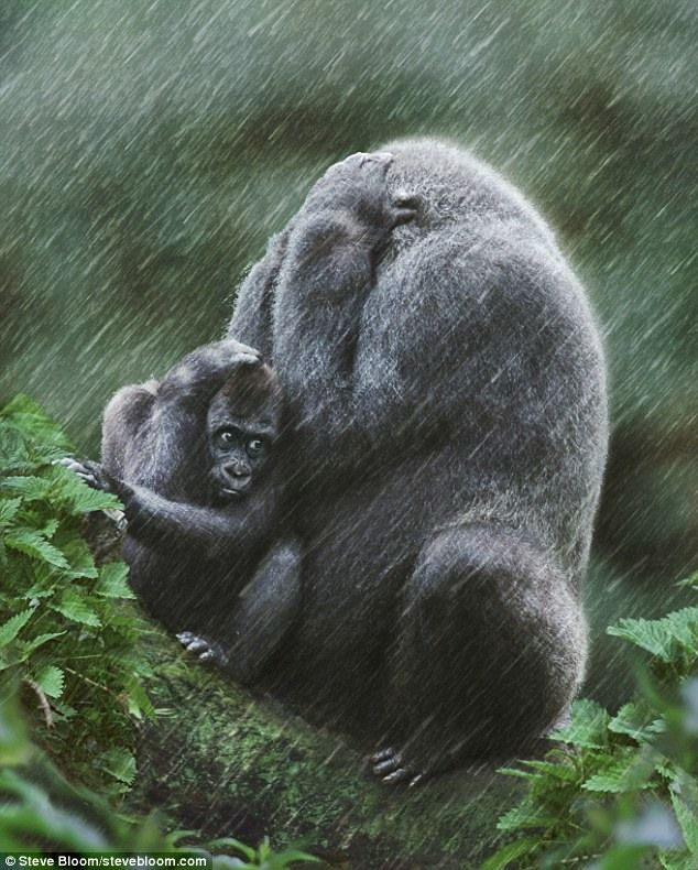 Africa |  Western lowland gorilla mother and baby in the rain | © Steve Bloom