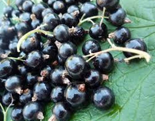 Buy blackcurrant health supplements to boost your sports performance. #blackcurrant