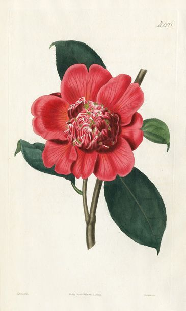 the 'waratah' camellia, C.japonica 'Anemoniflora', William Curtis Botanical Prints 1787-1826