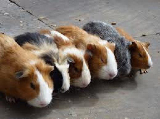 We all love some sort of furry creature, Guinea Pigs have become very popular these day's and more people are owning them as pets. This Hub will educated you on the History among other things.