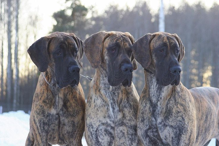 Such a handsome trio! Three Mackerel Brindle Danes.