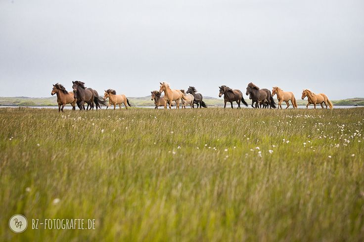 Watch out, they're coming for us... :)  #Iceland #horses #freedom