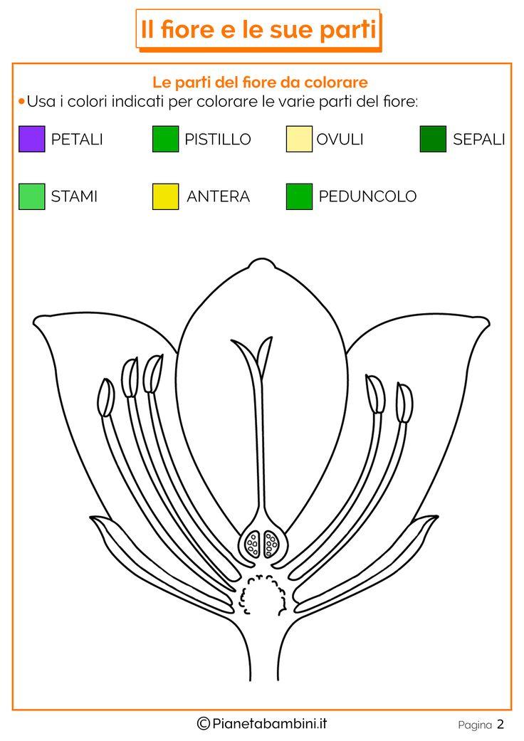 Tante schede didattiche sul fiore e le sue parti per bambini della scuola primaria pronte da stampare con disegni da colorare, esercizi e schema dimostrativo