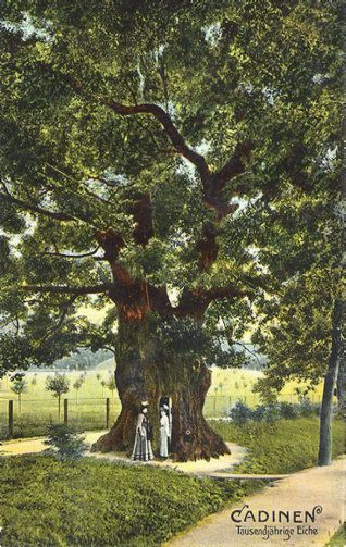 Cadinen, the '1000 year old oak, 25m high. This oak survived the war, and is still alive today. Jeff