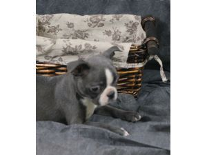 Boston Terrier Puppies For Sale: AKC Blue & Champagne Boston Terriers