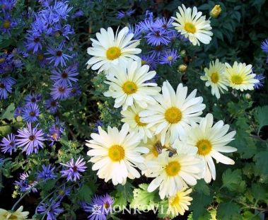 Ryan's Yellow Garden Mum. Stunning yellow daisies cover graceful, mounded plants. Excellent in borders and in containers for patio or landscape accents. Flowers are superb for cutting. Remove spent flowers to maintain a neater appearance. Herbaceous perennial. Full sun. Blooms late summer to fall.