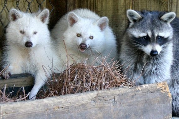 Two albino raccoons, named Snowball and Nell, lay low with another raccoon, Chance. These raccoons reside in a zoo in Charleston, SC because their lack of pigment makes them an easy target for predators in the wild.