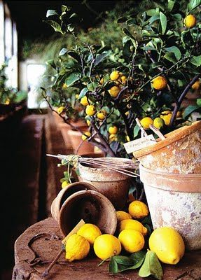 potted lemons