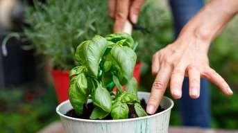 Ako pestovať bazalku po celý rok na okennom parapete? Celkom jednoducho