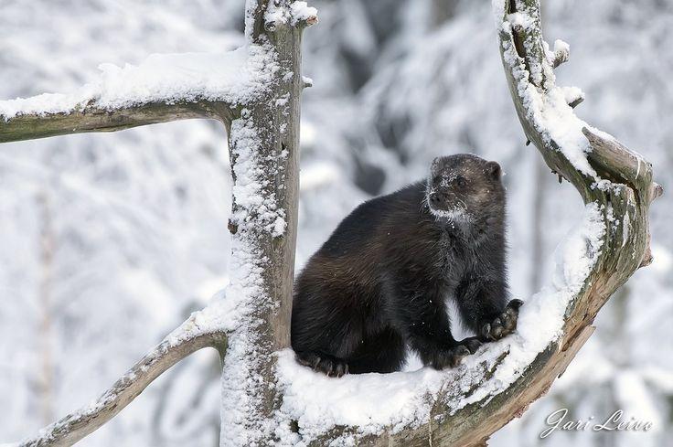(3) Twitter > Erä-Eero @eraeero1  6 t6 tuntia sitten Lisää  Ahmat ovat talvehtineet hyvin! Koko perhe nähtiin eilen yhdessä. #luonto #ahma #talvi #metsä #eläin #erämaa #Lieksa #Suomi100 #hyväasia