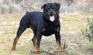 http://best5.it/post/rottweiler-tutto-su-questo-intrepido-gigante-buono/