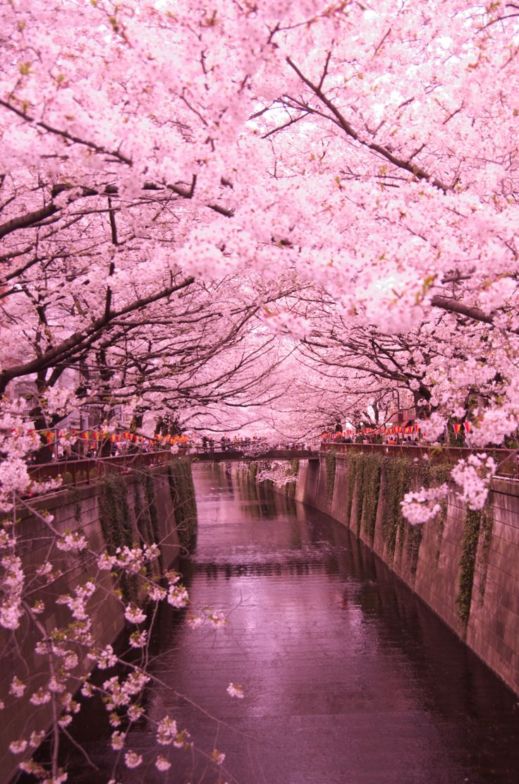目黒川の桜(Cherry blossoms, Meguro-river)