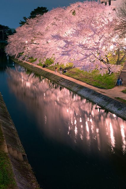 夜桜並木 Sakura threes at night.