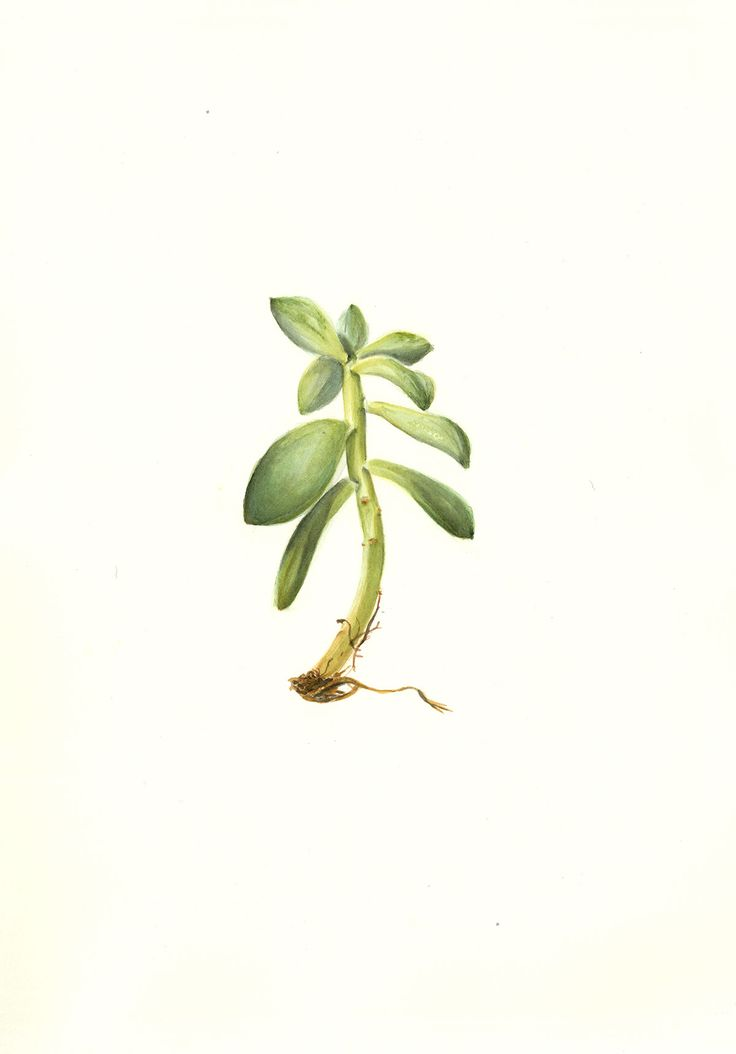Watercolour succulent painting, part of a collection of Scientif Illustration by Pencilheart Art on Behance