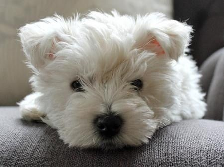 Westie puppy. Spitting image of my Chloe as a pup <3 <3