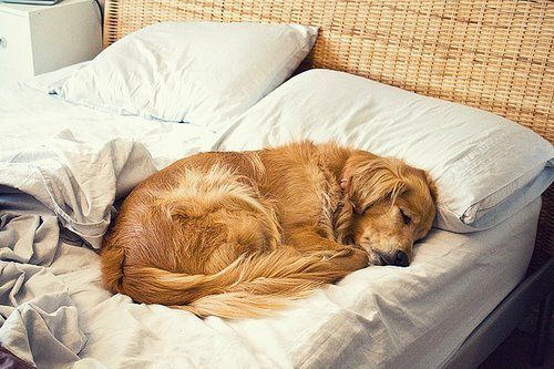 happiness is a golden snuggled in your bed.