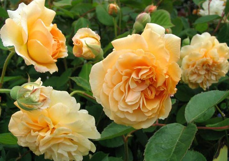 Buff Beauty - Ludwigs Roses | (Hyb. Musk) Shades of warm apricot-yellow. Grows into trees. Will flower continuously into Winter.