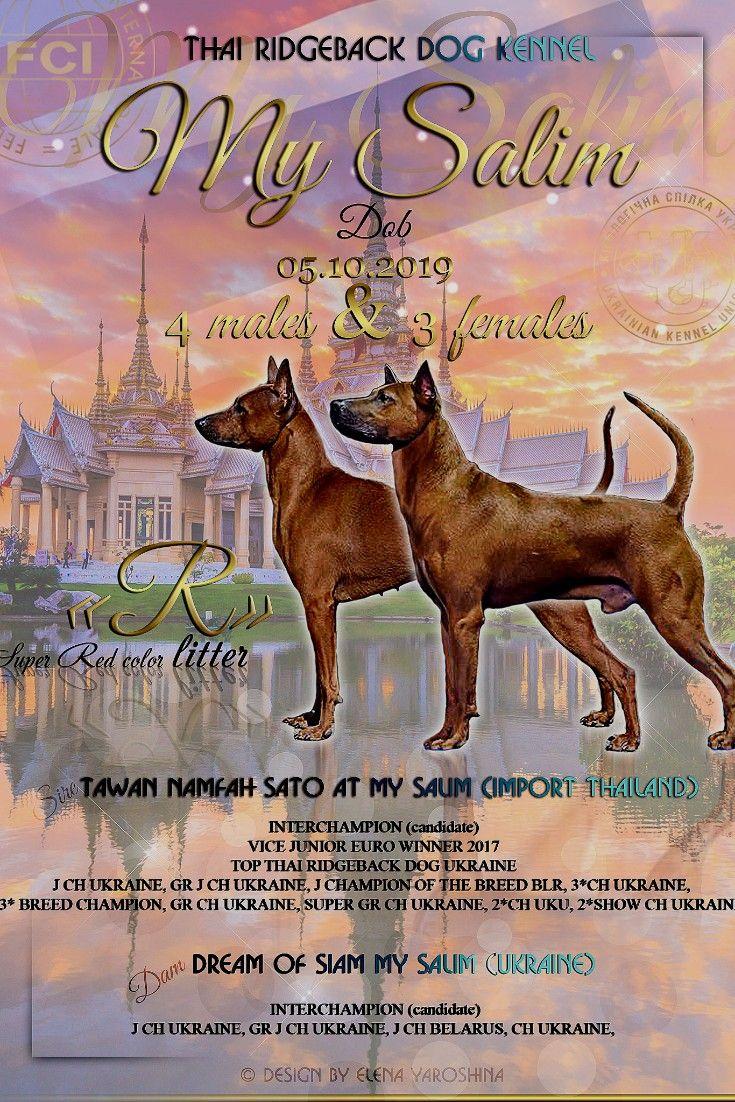 Pin Ot Polzovatelya Thai Ridgeback Dog Kennel My Salim Puppies For Sale Europa Ukraine Breeder Na Doske Thai Ridgeback Dog Kennel My Salim Kyiv Shenki