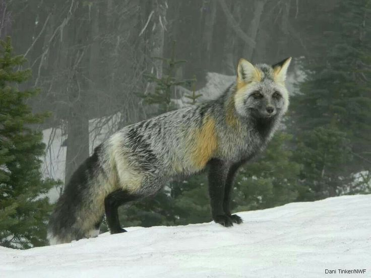 Image result for cascade red fox